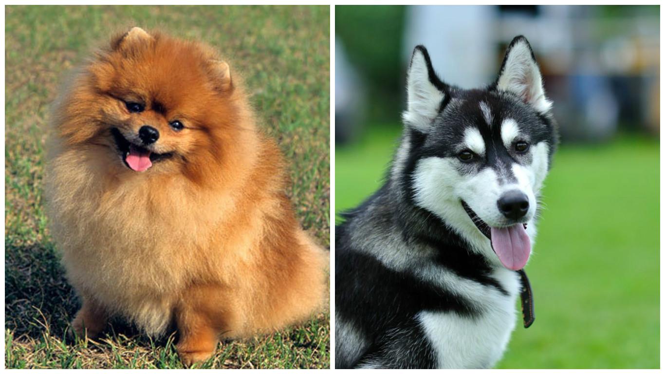 מדהים לכלב פומרניאן וכלבת האסקי סיבירי נולד גור, ואנחנו מבטיחים לכם שהוא RD-59