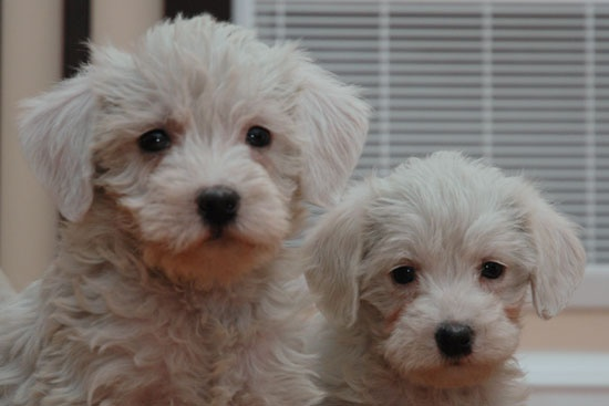 מצטיין 16 כלבי פודל מעורבים חמודים בטירוף שאתם פשוט חייבים לראות | ישראדוג JH-42