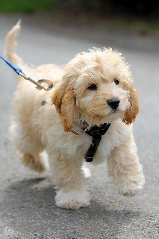 מרענן 16 כלבי פודל מעורבים חמודים בטירוף שאתם פשוט חייבים לראות | ישראדוג WT-63