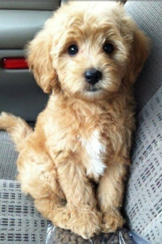 סנסציוני 16 כלבי פודל מעורבים חמודים בטירוף שאתם פשוט חייבים לראות | ישראדוג KO-26