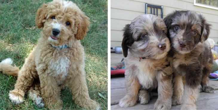 מאוד 16 כלבי פודל מעורבים חמודים בטירוף שאתם פשוט חייבים לראות | ישראדוג GZ-65